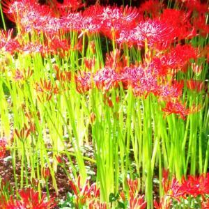 曼珠沙華・色彩心理♡カラーセラピー的なる光と影のお話し♪♪赤と緑と黒のコントラスト…