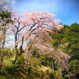 桜の花の咲く頃に(残りの1年半)