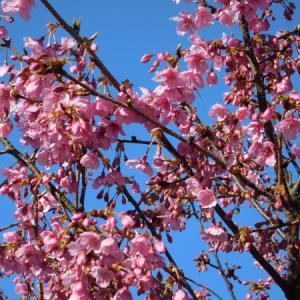 河津桜ふたたび