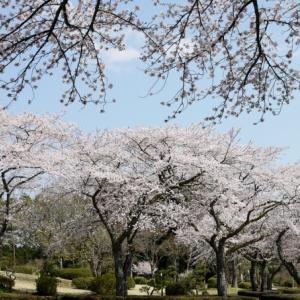 桜満開、墓参の旅