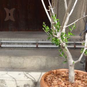 オリーブの木が復活!