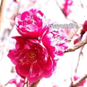 梅の花と福寿草
