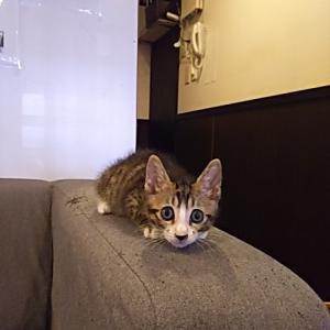 短期バイト猫。