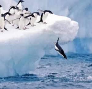 ファースト・ペンギンは勇者か? 犠牲者か?