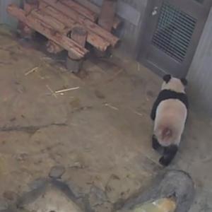 突然パンダにハマる