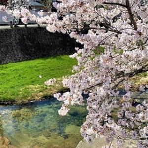 来週のスケジュールと散歩桜