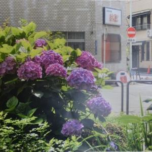 遊彩会:街角の紫陽花