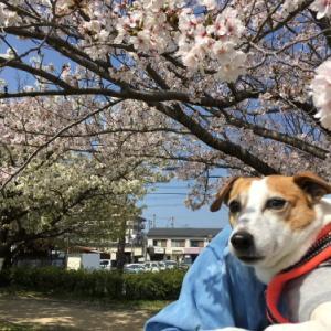 桜の季節となりました♪