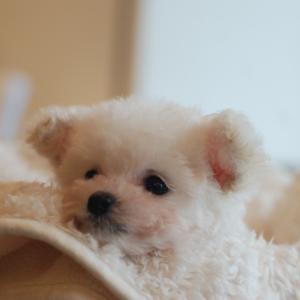 仔犬のご紹介 極小サイズのシルバーとホワイトのプードルの女の子