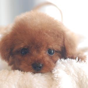 仔犬のご紹介 極小サイズのとっても可愛いプードルの子