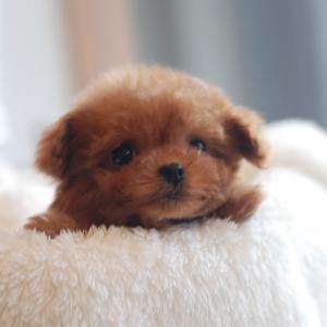 仔犬のご紹介 極小サイズのとっても可愛いプードルの女の子
