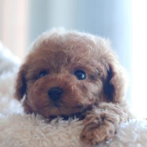 仔犬のご紹介 ちっちゃなとっても可愛いプードルの兄弟