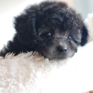 仔犬のご紹介 ちっちゃなとっても可愛いシルバーのプードルの女の子