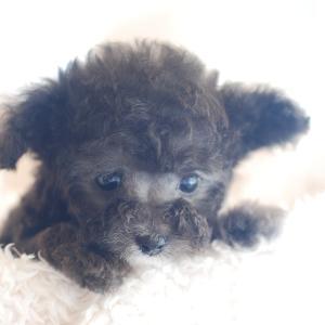 仔犬のご紹介 とってもちっちゃな可愛いシルバーのプードルの男の子と女の子