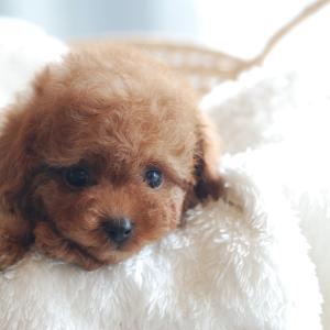 仔犬のご紹介 ティーカップサイズのとっても可愛いプードルの男の子