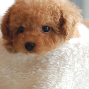 仔犬のご紹介 とっても可愛いちっちゃなサイズのプードルの男の子と女の子