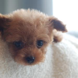 仔犬のご紹介 極小サイズのとっても可愛いプードルの兄弟
