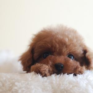 仔犬のご紹介 極小サイズのとっても可愛い女の子の姉妹