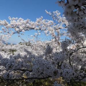 桜、満開で~~す。。。