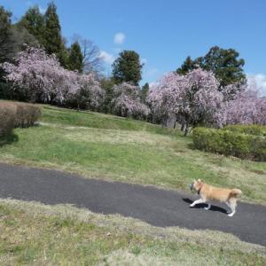 桜、散り始めました。。。