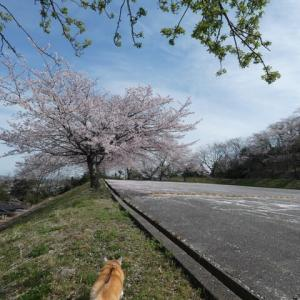 これが今年最後の桜かな。。。