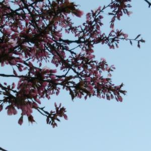 桜が咲きましたよ (*^ー^)