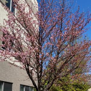 桜が咲きました  ( =^ω^)