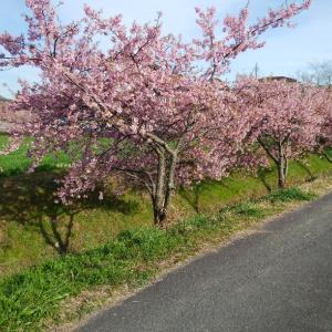 河津桜の花見