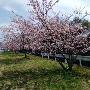 河津桜?の花見②