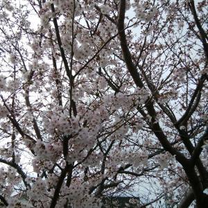 ソメイヨシノの花見
