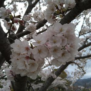 桜の花見(幸田中央公園)