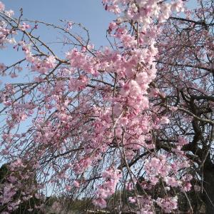 桜の花見(幸田文化公園)