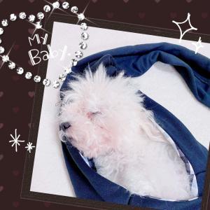 ♪スリングで眠るトイプードル♪