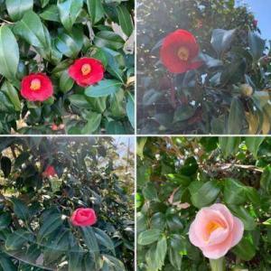 松江市の花 椿