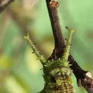 オオムラサキ幼虫の春の脱皮開始。林道でウグイスなど。