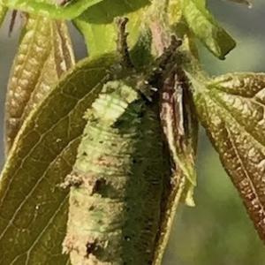オオムラサキ蛍光幼虫も脱皮始まる、中庭の花事情