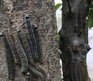 スモモの木にオビカレハの幼虫群団、ゴマダラチョウの終齢幼虫、タケノコ。