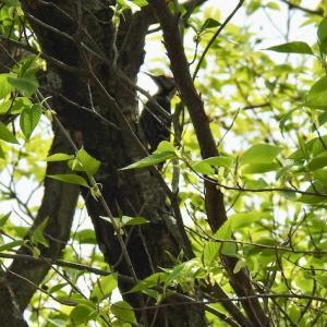 逃げ惑うオオアカゲラ、カラスヘビ(シマヘビの黒化固体)