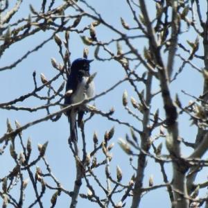 オオルリ、ナンジャモンジャ、畑の鳥対策