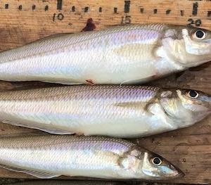 キス、釣果は7匹でしたが、23、22、20センチ・・・