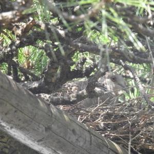 キジバト、今年の松の木での抱卵は?