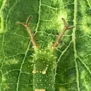 オオムラサキ3令幼虫。キジバト若鳥、親の喉の奥にクチバシ突っ込んで・・・。