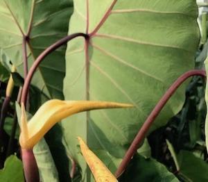 奈良県で里芋の花。今年のトウモロコシは・・・