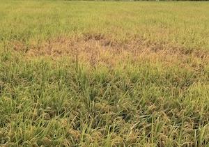 稲刈り前、ウンカの大発生被害。蕎麦畑。シロソウメンタケ。