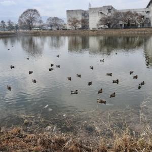 落穂拾いの鴨たち。MFの池ではカワセミ、ノスリ、イソヒヨドリなど