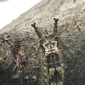 オオムラサキ幼虫は、春の準備が始まりました。
