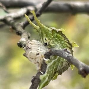 オオムラサキ幼虫、春一番の脱皮が始まりました