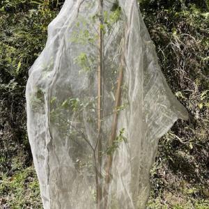 オオムラサキ幼虫の袋かけ、ゴマダラチョウ