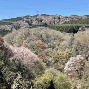 アオダモ、ゴヨウアケビ、タラの芽とコシアブラの芽。廃校跡。