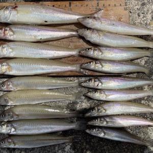 キス釣果、21〜14cmを18匹。